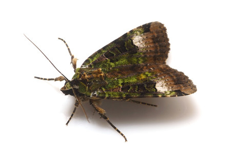 Moth_from_mttakanawa3_3