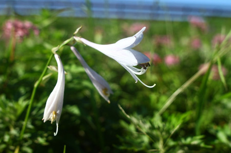 Mtibuki_flower10