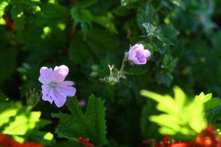 Mtibuki_flower13
