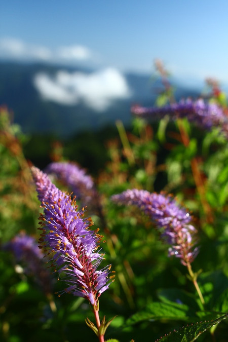 Mtibuki_flower3