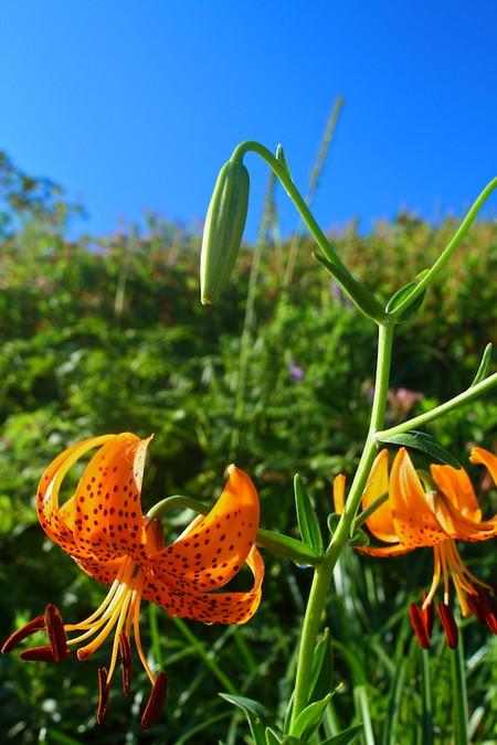 Mtibuki_flower5