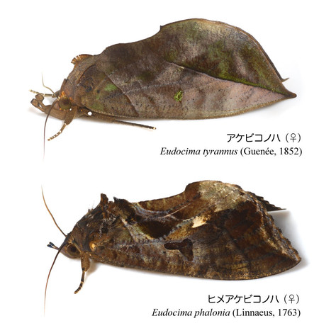 2species_of_genus_eudocima