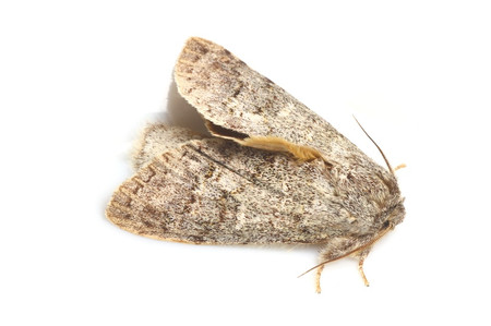 Moths_collected_from_tengukougen12
