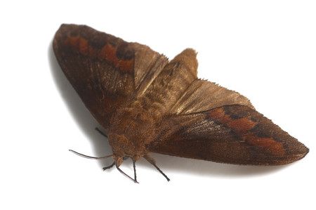 Moths_collected_from_tengukougen13