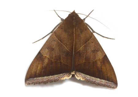 Moths_collected_from_tengukougen14