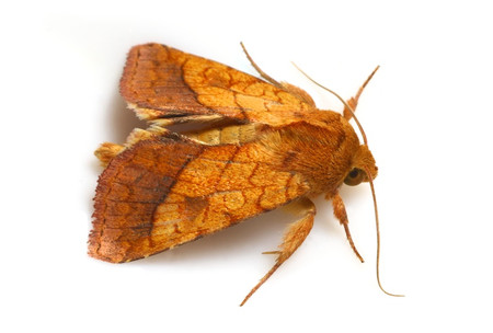 Moths_collected_from_tengukougen16
