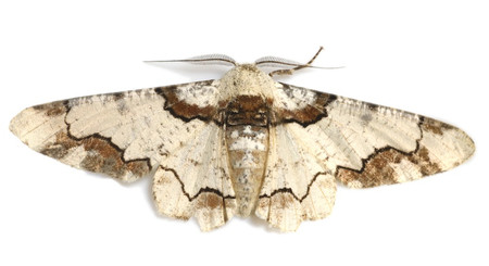 Moths_collected_from_tengukougen3