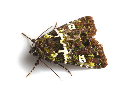 Moths_collected_from_tengukougen5