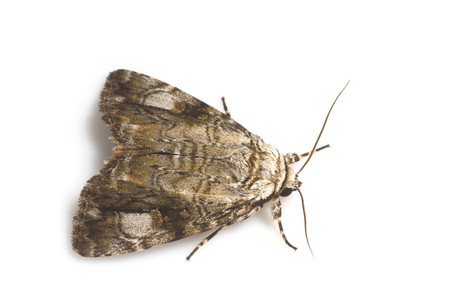 Moths_collected_from_tengukougen8