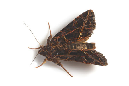 Moths_collected_from_tengukougen9