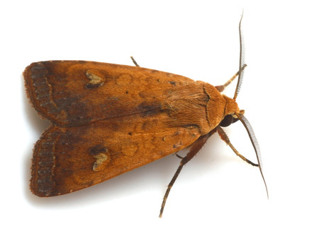 Moths_collected_from_tengukougen11_