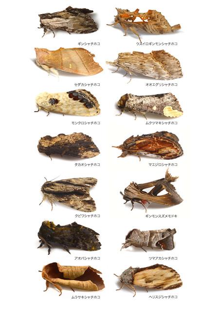 Notodontidae1