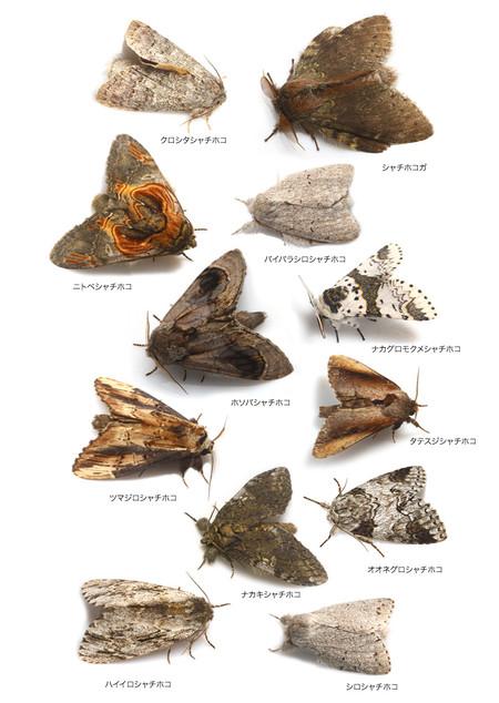 Notodontidae2_3
