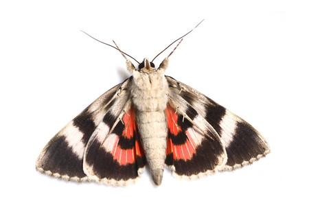 ベニシタバ Catocala electa zalmunna Butler, 1877の白バック写真その3