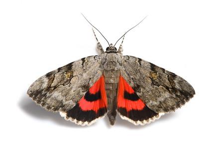 ベニシタバ Catocala electa zalmunna Butler, 1877の白バック写真その2