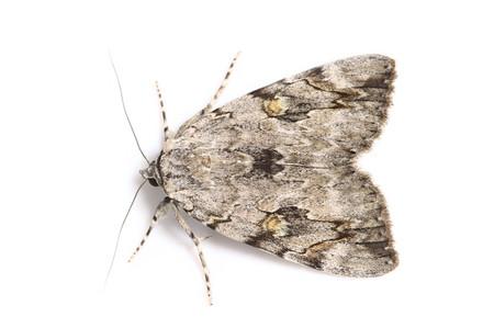 ベニシタバ Catocala electa zalmunna Butler, 1877の白バック写真その1