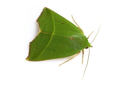 Greenmoths1