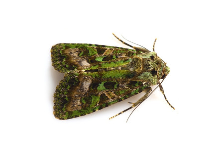 Greenmoths2