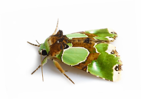 Greenmoths3