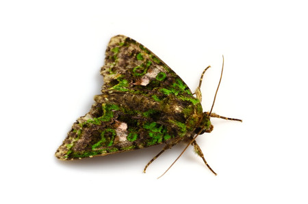 Greenmoths4