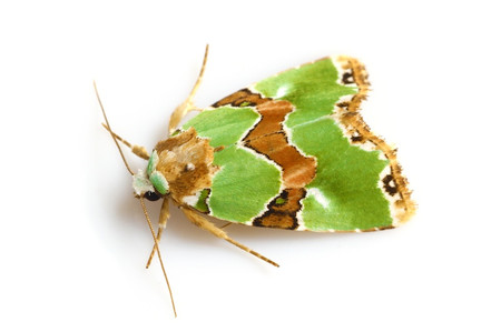 Greenmoths5
