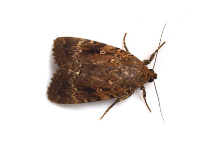 Moths_obtained_from_mtsaragamine_11