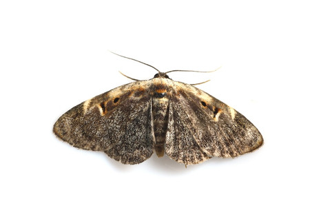 Moths_obtained_from_mtsaragamine_12