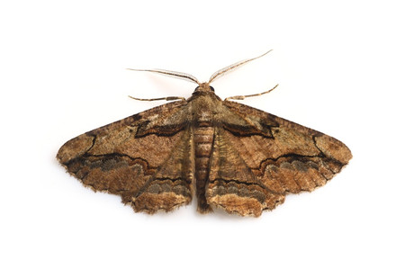 Moths_obtained_from_mtsaragamine_13