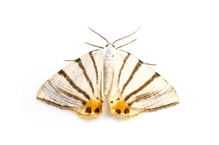 Moths_obtained_from_mtsaragamine_14