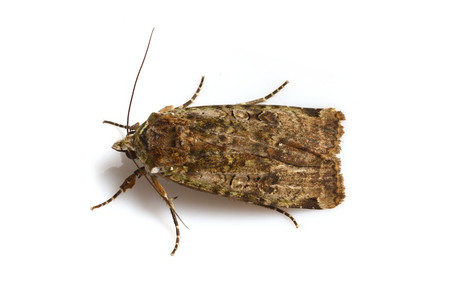 Moths_obtained_from_mtsaragamine_15