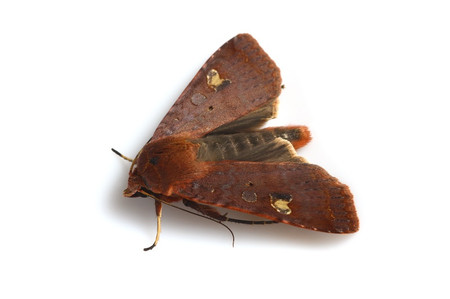 Moths_obtained_from_mtsaragamine_16