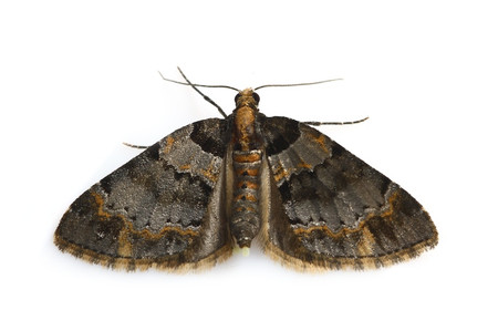 Moths_obtained_from_mtsaragamine__3