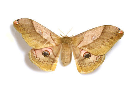 Moths_obtained_from_mtsaragamine__4