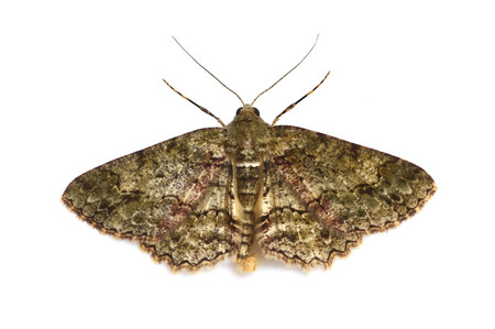 Moths_obtained_from_mtsaragamine__5