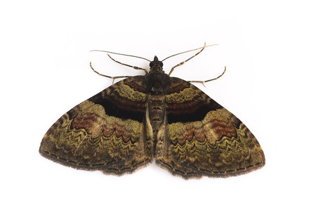 Moths_obtained_from_mtsaragamine__6