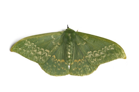 Moths_obtained_from_ishitegawadam6