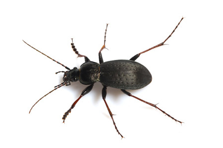 Carabus japonicus Motschulsky