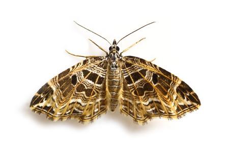 Lobogonodes_erectaria