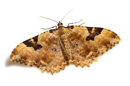 Rheumaptera_hedemannaria