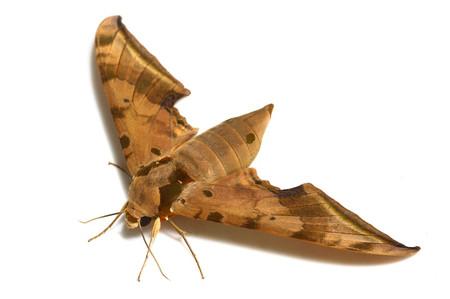 Ambulyx_sericeipennis_tobii
