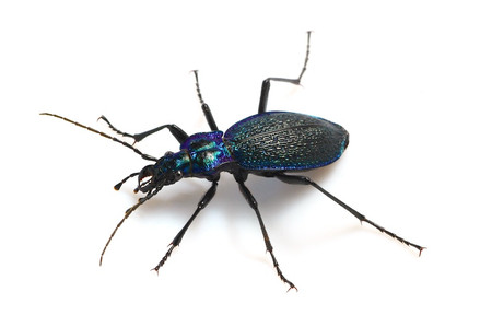 Carabid_beetle