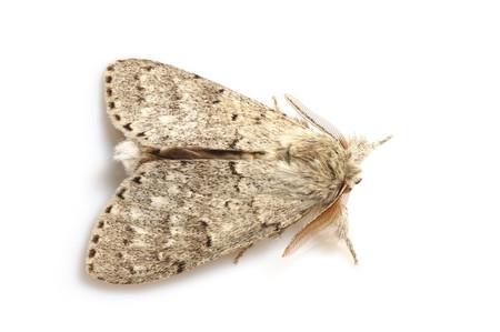 Cnethodonta_grisescens_grisescens