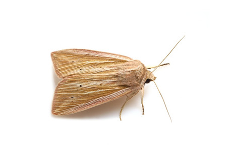Mythimna_radiata