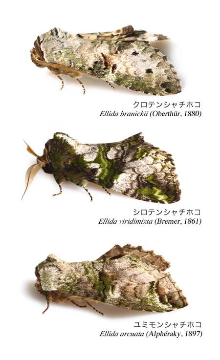 Genus_ellida