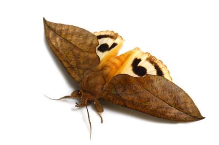 アケビコノハ Eudocima tyrannus (Guenée, 1852)