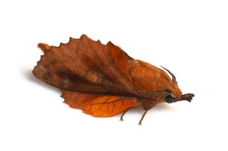 カレハガ Gastropacha orientalis Sheljuzhko, 1943