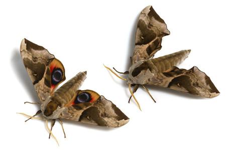 ウチスズメ Smerinthus planus planus Walker, 1856