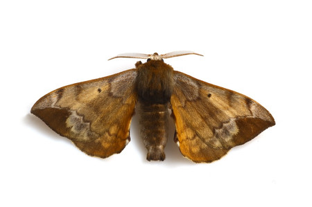 Pseudandraca_gracilis