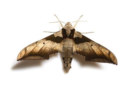 Ambulyx_japonica_japonica