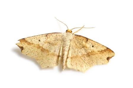 Pareclipsis_gracilis